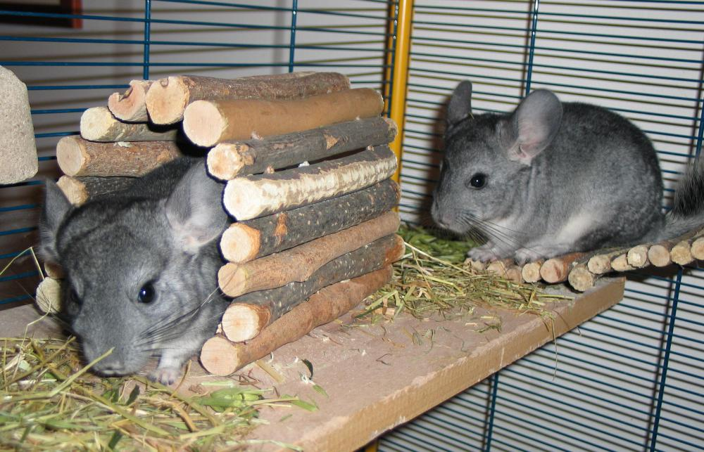 Chinchillas require temperature controlled cages, because they are very susceptible to heat and cold.