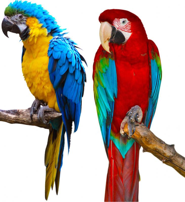Macaws come in a variety of colors.