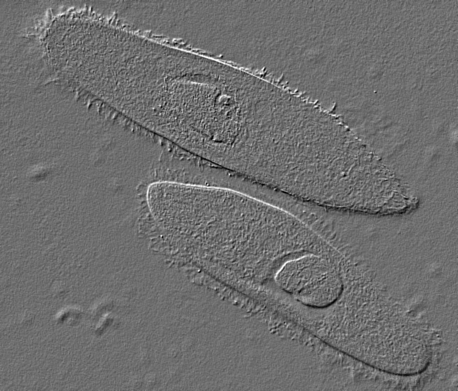Two protists.