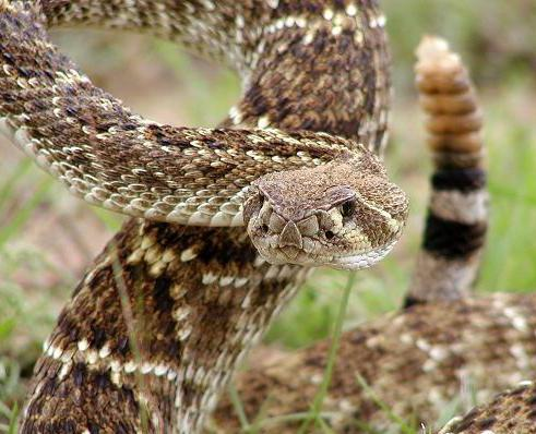 The Western Diamondback rattlesnake is considered to be one of the most dangerous snakes in North America.