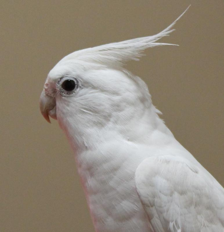Cockatiels tend to cost less than parrots.