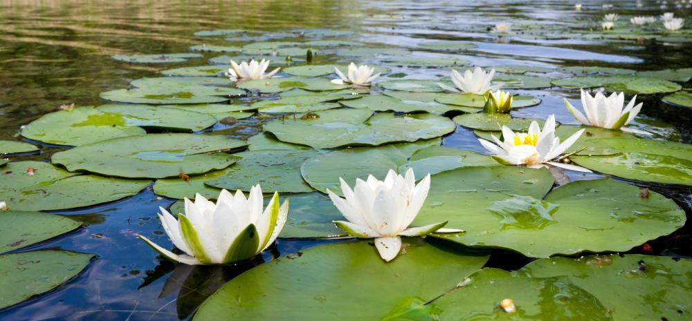 Water lilies are a type of wetland vegetation.