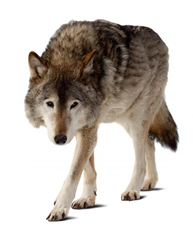 Because dogs are descended from wolves, they have an instinct to determine an alpha dog.