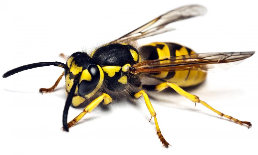 A yellow jacket, a type of detrivore.