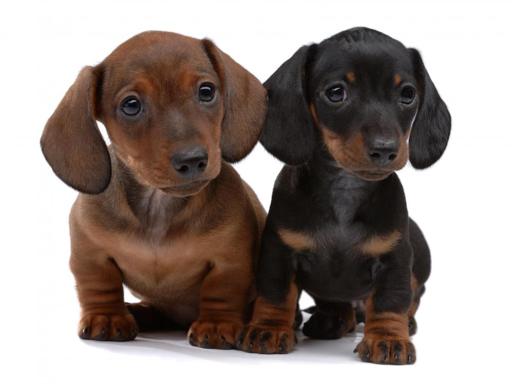 Puppies are prone to the parainfluenza virus.