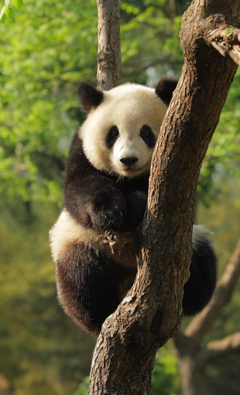 Young giant panda in a tree.