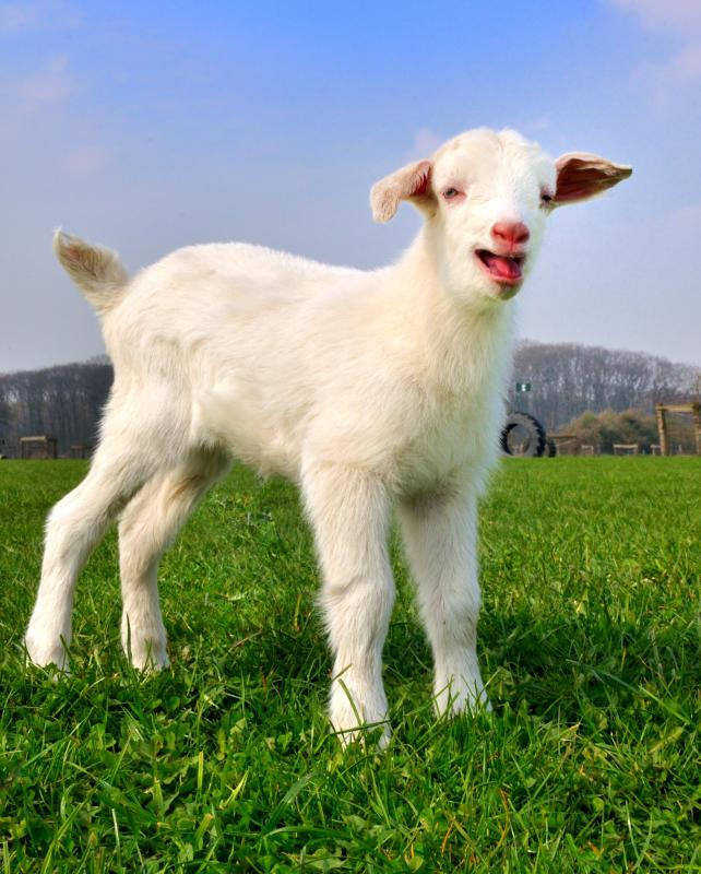 Some goats have been introduced to graze in areas and allowed to roam free, becoming an invasive species.
