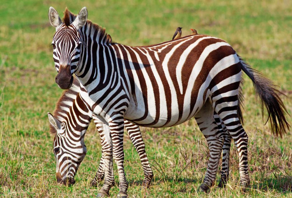 Zebras are striped equids that are native to Africa.